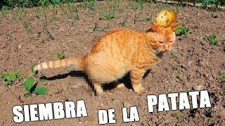 LA SIEMBRA DE LA PATATA