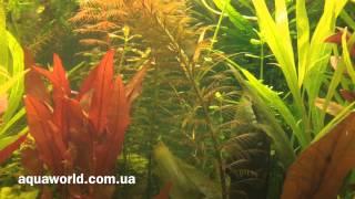 Прозерпинака -Аквариумное растение(Прозерпинака -Аквариумное растение aquaworld.com.ua http://www.aquaworld.com.ua/product/19805-prozerpinaka-palyustris-proserpinaca-palustris., 2013-12-12T21:48:45.000Z)