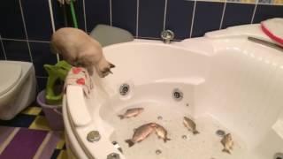 Кот ловит рыбу// рыба наказала избалованного  кота бантика