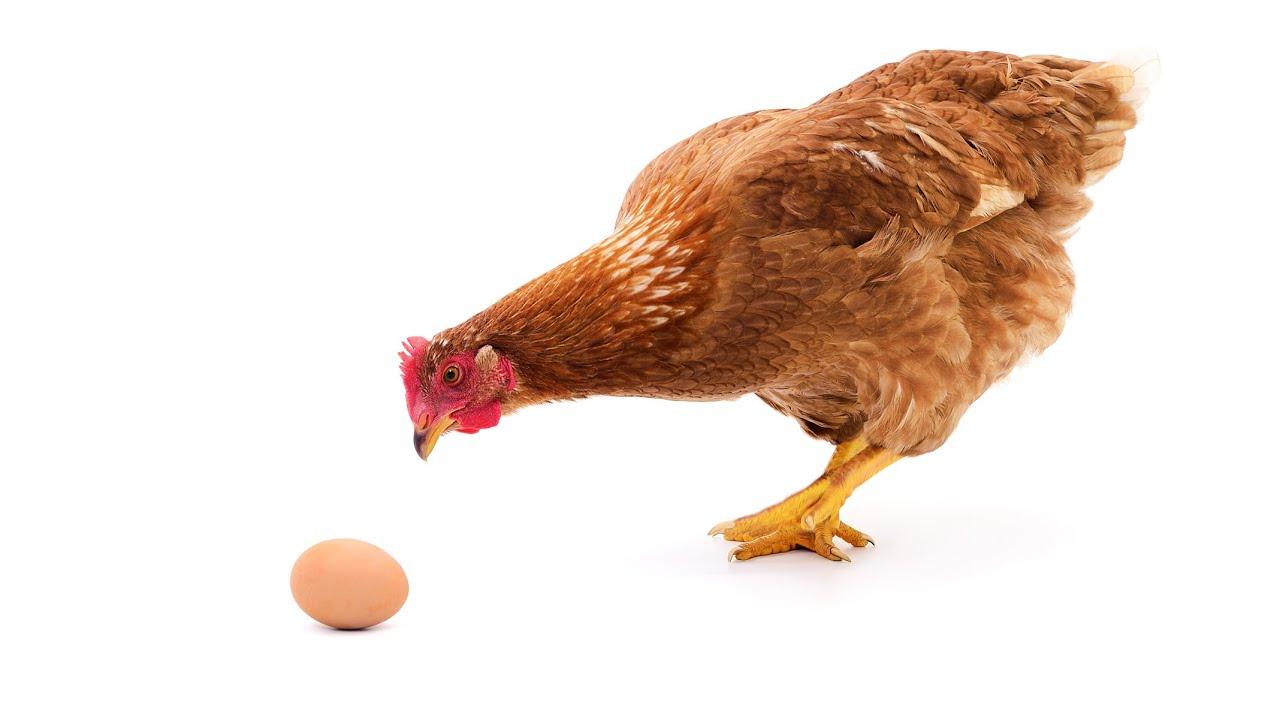 Как остановить расклев яиц у кур несушек.