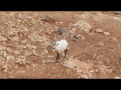 A herd of Arabian oryxes