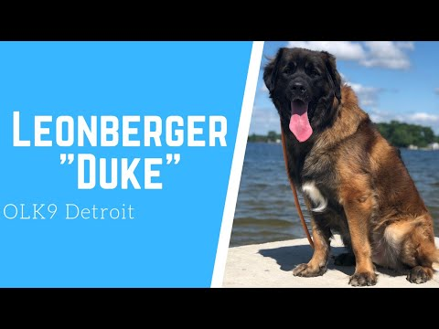 Leonberger Duke l Awesome Obedience l Dog Training Detroit