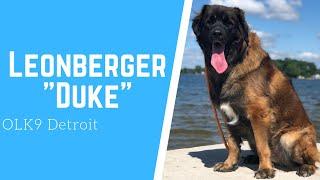 "Leonberger ""Duke"" l Awesome Obedience l Dog Training Detroit thumbnail"