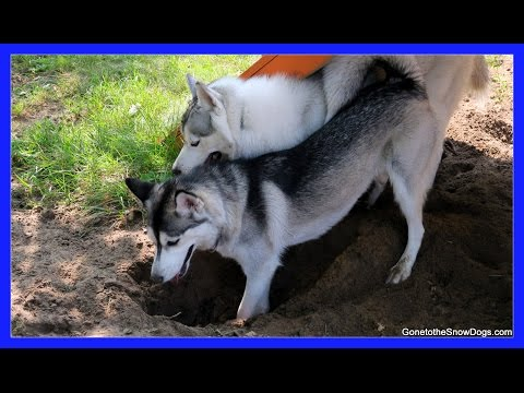 HUSKY DIGS WITH FRIENDS | Do Huskies Dig?