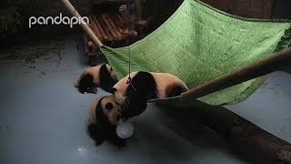 Download Panda hammock fight