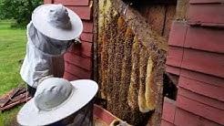Honey bee removal Montebello NY barn.  Part1
