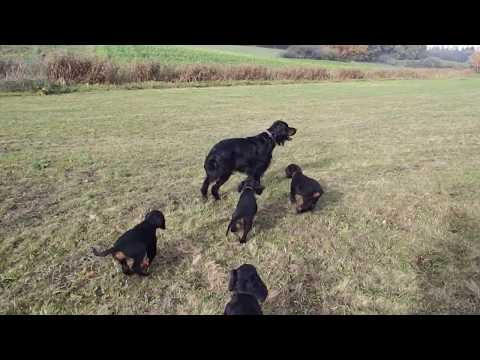 Gordon Setter H-Wurf vom Marburger Land