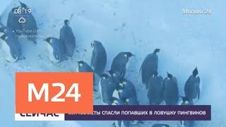 Смотреть видео Журналисты спасли попавших в ловушку пингвинов - Москва 24 онлайн