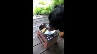 バーニーズマウンテンドッグのハンフリー君の4歳のお誕生日に、犬用バ...