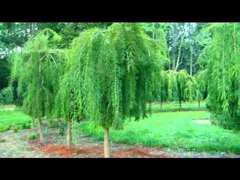 Bald Cypress Treehenge at SFA Gardens - YouTube