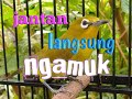 Pleci Betina Cocok Buat Pancingan Pleci Ombyokan  Mp3 - Mp4 Download