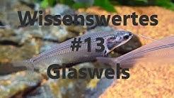 Der Glaswels   Wissenswertes #13