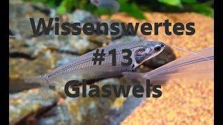 Wissenswertes #13 über den Glaswels