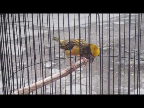 [-top-]-burung-manyar-gacor-sampai-teler/ploceus-manyar..