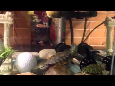 HD Red Ear Slider Turtle Eating Feeder Fish, Rosy Red Minnow