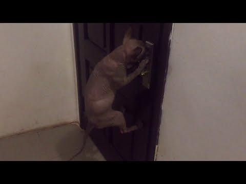Smart Cat Opens Door