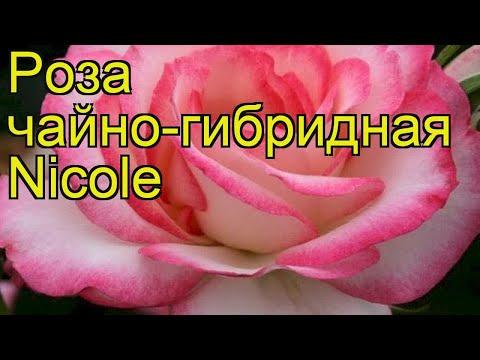 Роза чайно-гибридная Николь. Краткий обзор, описание характеристик, где купить саженцы Nicole