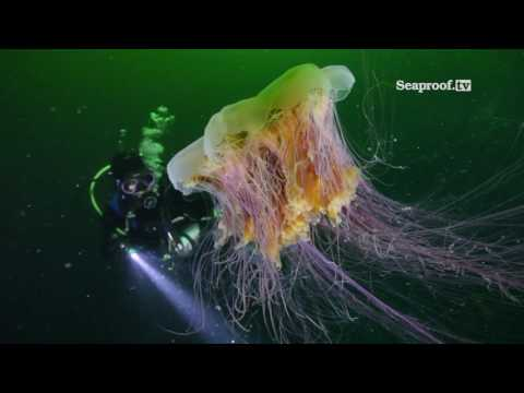 Diving With Jellyfish On Vancouver Island, British Columbia