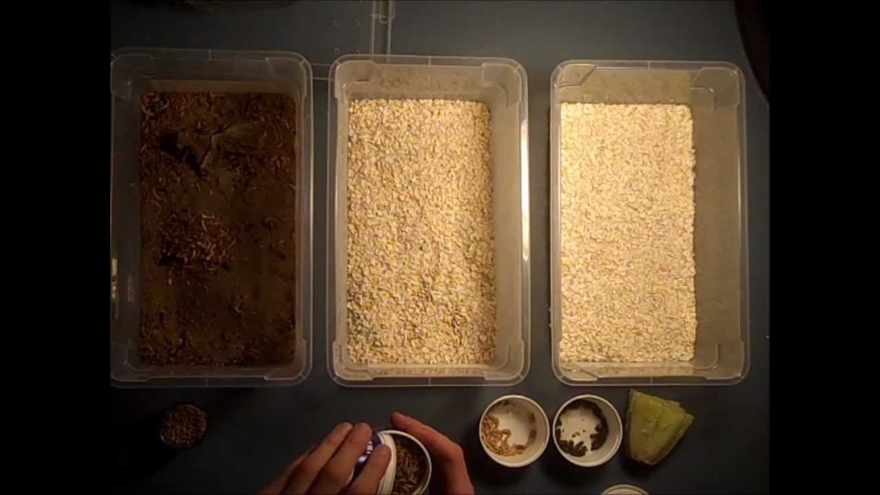 Mealworms A Guide To Raising And Breeding Mealworms For Your Reptiles Meal Worms Raising Chicken Feed Mealworm Farm
