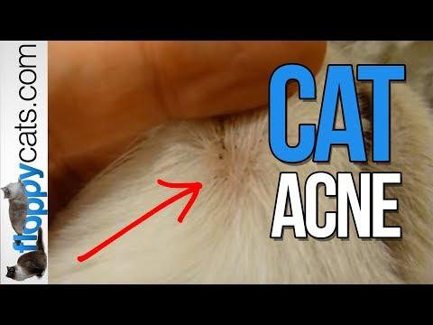 Cat Zits on Ragdoll Cat Chiggy - Feline Acne - Cat Acne - ねこ - ラグドール - Floppycats