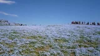 ひたちなか海浜公園ネモフィラの丘 ネモフィラの丘 検索動画 10