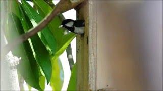 庭の巣箱で雛が生まれた。3分おきに、せっせと餌を運んでいるので、邪魔...