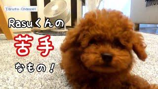 Rasuくんの苦手なもの発覚!? トイプードルのTaruto&Rasuku thumbnail