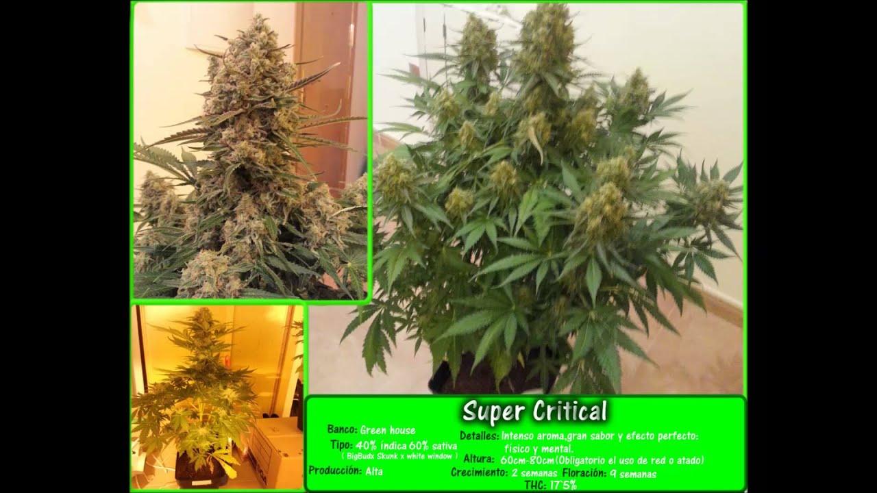 Primer cultivo de marihuana en interior indoor youtube for Produccion marihuana interior