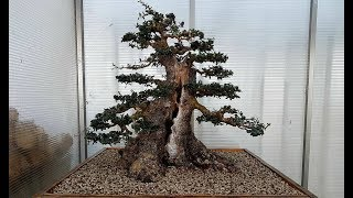 ✅  Bonsai Repotting - The Right Way - by Luca Bragazzi