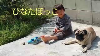 パグ犬ムゥが息子と一緒に日向ぼっこをしています。寒さも和らいで暖か...