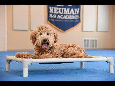 Suter (Goldendoodle) Boot Camp Dog Training Video Demonstration