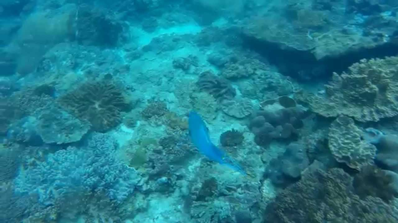 Ember Parrotfish (Redlip parrotfish) - YouTube