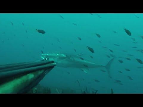 Chasse sous marine - Gros thon rouge de Méditerranée - 2016