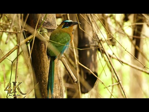 Blue-Crowned Motmot spotted in Soberania National Park of Panama