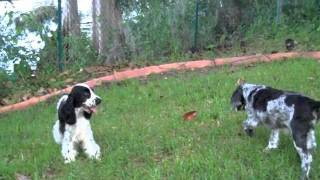 Playful Black And White English Cocker Puppy
