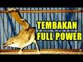 Ciblek Gacor Suara Penuh Emosi Tembakan Full Power  Mp3 - Mp4 Download