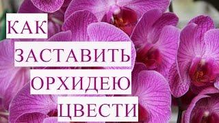 Как Заставить Орхидею Цвести.