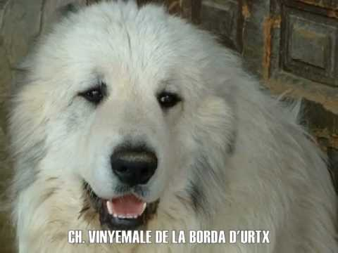 PYRENEAN MOUNTAIN DOG / GREAT PYRENEES - LA BORDA D'URTX