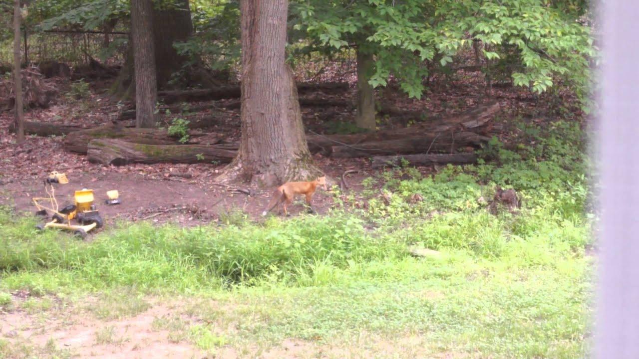 Red Fox in my Back Yard - YouTube