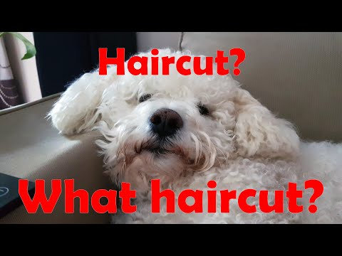 How I groomed my Bichon Frise ...never done it before
