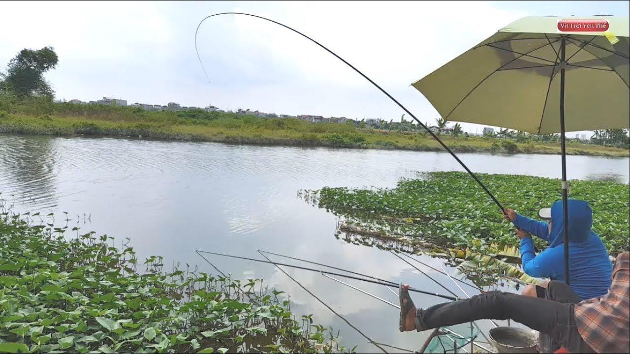 Đi câu cá chép sông giật mỏi tay