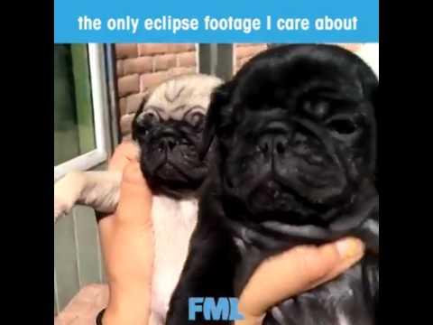 Pug Eclipse