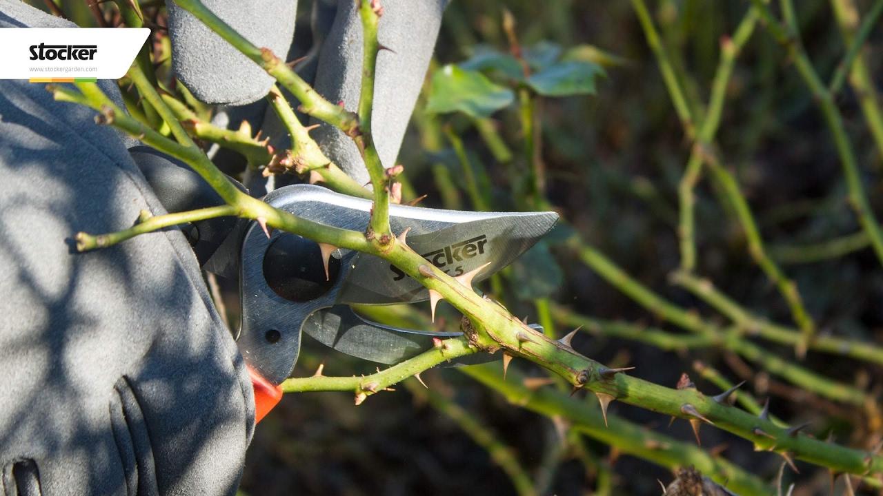Quando Potare Il Glicine come potare la rosa multiflora – guida con consigli per la potatura