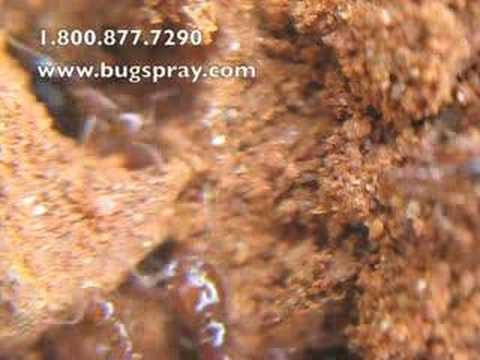 Fire ant video