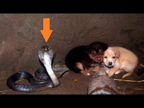 Два щенка попали в яму с коброй. Но то, что сделала эта кобра не передать словами