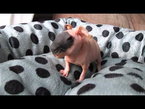 Noisy Baby Skinny Pig (Darwin)