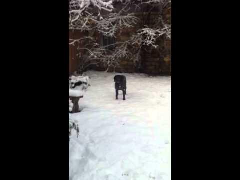 German shorthaired pointer puppy 1st snow 2013