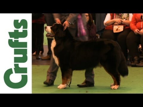 Crufts 2012 - Bernese Mountain Dog Best of Breed