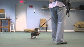 Dog Training Cincinnati -  Dog Bootcamp -  Training A Min Pin- Http://aztecdogtraining.com/