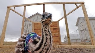 Will Bamboo fit in her new emu house?